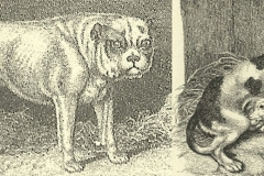 Edward-Cecil-Ash-'-The-Practical-Dog-Book-plate-6-no-6-The-Bulldog-1808