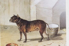 NETTLE-EARLY-ENGLISH-BULLDOG-1825-ONE-OF-THE-6-DOGS-THAT-FOUGHT-THE-LION-NERO-AT-WARWICK-ENGLAND-IN-1825