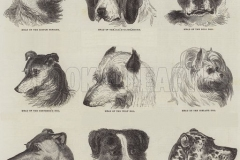 Various-Dogs.-Illustration-for-The-Illustrated-London-News-5-October-1844