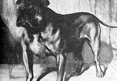 1861-1-Old-King-Dick-first-bulldog-show-winner-Birmingham