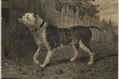 BEECH-BULL-BITCHCIRCA-1880