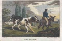 Bulldog-1798_240