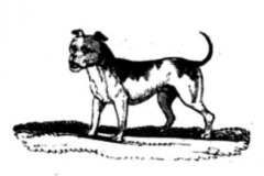 bull-and-terrier-oldp