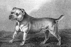 1806-Trusty_Lord_Camelfords_Bull-and-Terrier_c._1806