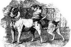 BULL-AND-TERRIER-CROSSCIRCA-1879