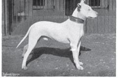 1898_BullTerrier