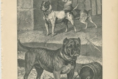 Original-Bull-and-Terrier-Cross-1881