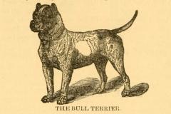 bull-terrier-1899