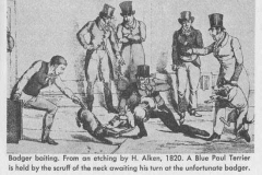 BADGER-BAITING-BY-H.-ALKEN1820.-A-BLUE-PAUL-TERRIER-IS-HELD-BY-THE-SCRUFF-OF-THE-NECK-AWAITING-HIS-TURN-ON-THE-UNFORTUNATE-BADGER
